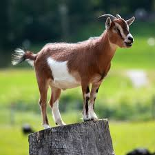 Goat Wikipedia