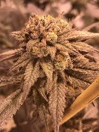 Emerald Harvest Grow Thcfarmer Cannabis Cultivation Network
