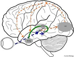 Roadmap to amygdala