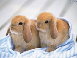 cute baby rabbits. cute baby animals | bunnies 9055 hd wallpapers in - imagesci.com rabbits