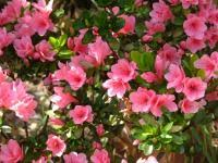 Azalea Size Chart Rhododendrons Azaleas How To Plant Grow And Care For