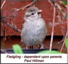 Baby Bird Age Chart The House Sparrow Passer Domesticus Nesting Orphan Care