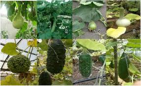 Gourd Identification Chart Different Bottle Gourd Plants Download Scientific Diagram