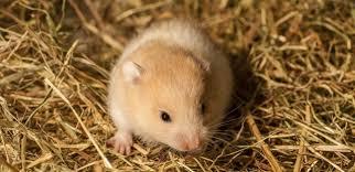 litter for your hamster celia haddon