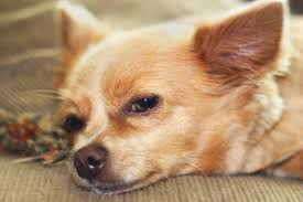 Canine Lymphoma Symptoms Lymphadenitis In Dogs Symptoms Causes Diagnosis