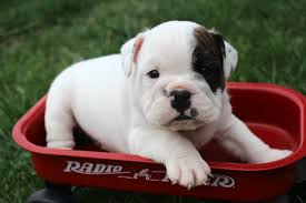 american bulldog newborn puppies.  American Bulldog Puppies From Their Mother By Separating The  Mom And Providing High End Puppy Chow Mixed With Goatu0027s Milk Or Water Intended American Bulldog Newborn Puppies C
