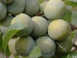 Más De 25 Ideas Increíbles Sobre Plum Varieties En Pinterest Plum Fruit Tree Varieties