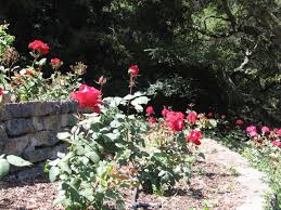 opportunities to help maintain the roses curly flourishing at the berkeley rose garden are available photo mary rees