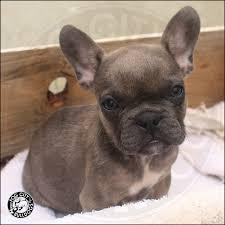 darksable2 8 darksable2 9 both 1 both 3 french pups available french bulldog puppies