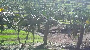 Dragon FruitGrowing U0026 Pruning  YouTubeHow To Take Care Of Dragon Fruit Tree