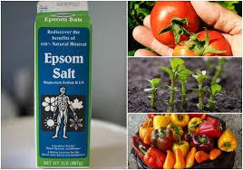epsom salt gardening. 10 Incredible Uses For Epsom Salt In The Garden Gardening