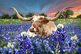 longhorn painting longhorn in bluebonnets by tim gilliland