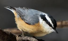 Nuthatches 630x380