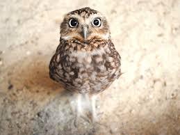 Dissecting Owl Pellets Scholastic