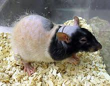 """Résultat de recherche d'images pour """"rat """""""