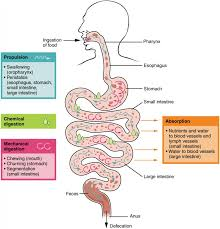 Digestive System Processes And Regulation Anatomy And