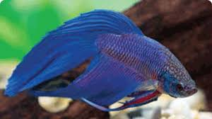 petco freshwater fish. Modren Petco Eight Tips To Keep Your Freshwater Fish Happy U0026 Healthy Throughout Petco