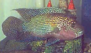 Small Picture Jack Dempsey Cichlid Rocio octofasciata Dempsey Fish Guide