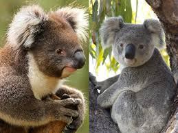 koala pictures interesting facts n koala foundation
