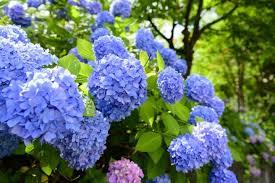 hydrangeas and the rainy season an