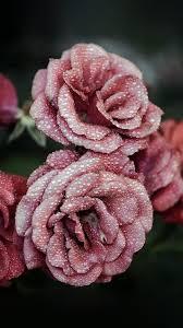nf67-rose-pink-raindrop-flower-summer ...