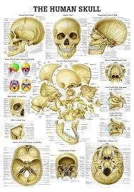 The Human Skull Laminated Anatomy Chart Amazon Com