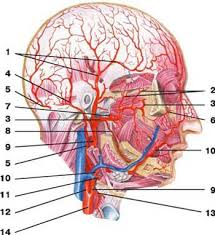 arteries of the face arteries of the neck head and face human anatomy
