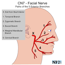 The Facial Nerve Or The Seventh Cranial Nerve Has Both