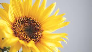 Sonnenblume Bedeutung Diese Bedeutung Solltest Du Kennen