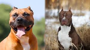 How about considering a pit bull terrier mix? American Staffordshire Terrier Vs Pitbulls What S The Difference
