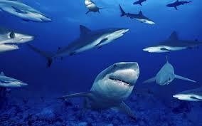 tiger shark iphone wallpaper. Exellent Wallpaper 1600x1000 Shark Wallpaper HD Pictures  Animal Wallpapers With Tiger Iphone P
