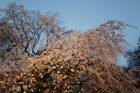 Wallpaper : Japan, sunlight, nature, winter, branch, frost, cherry blossom,  spring, Leica, Tokyo, Jp, tree, autumn, leaf, flower, season, sakura,  flora, ...