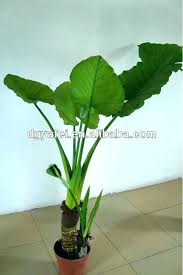 big leaf house plants indoor large plant green ornamental pictures p winning se with leaves round