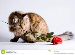 valentine cat images.  Cat Young Cat For Valentine For Cat Images