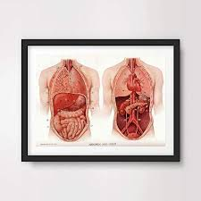 Stomach Muscle Chart Amazon Com Organs Heart Lungs Stomach Medical Art Print