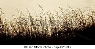 tall grass silhouette. Savannah Grass Silhouette - Csp9028296 Tall