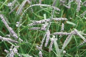 Turf Disease The Grass Rhizome Grass Pad Turf Disease Control For Home Lawns