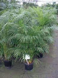 potter areca palm plants