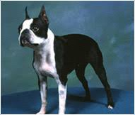 Boston Terrier Dog Breed Facts And Traits Hills Pet