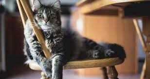 get cat urine out of wood furniture