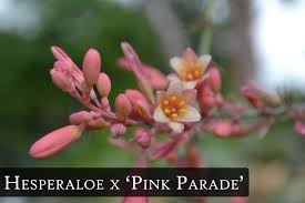 hesperaloe pink parade