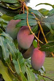 Plum Tree Prunus  My Perfect GardenPlum Tree Not Producing Fruit
