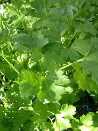 oderings garden centre herb parsley italian high in vitamininerals