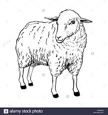 hand drawing of cartoon sheep sketch design for coloring book vector ilration vector ilration