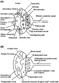 lymph node an overview