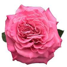 whole garden roses
