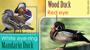 Duck Identification Guide All The Types Of Ducks With Pictures