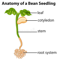 Anatomy Of A Bean Seed Stock Vector Illustration Of Hilum