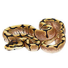 petsmart reptiles for sale.  Petsmart Juvenile Fancy Balll Python On Petsmart Reptiles For Sale R