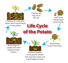 Potato Growth Chart Potato Plant Stages To Know When Your Produce Is Ready